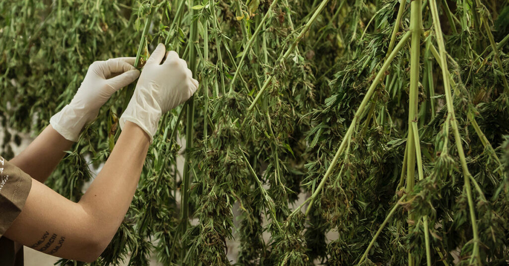 9 Features To Look For In A Cannabis Cultivation Software